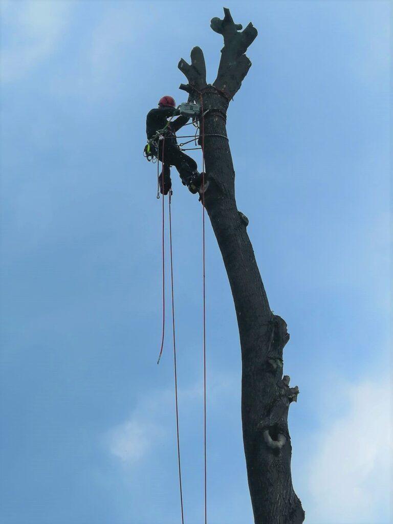 opuszczanie drzewa na linach